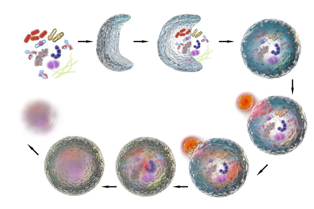 Autophagy illustration